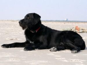 st peter ording hotel hund : Hund Filu am Strand
